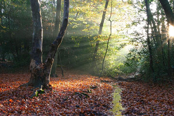 sunbeams in a beech forest